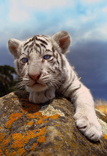 TGR 10 RK0079 05 © Kimball Stock Head Shot Of White Bengal Tiger Cub Laying On Rock Gray Clouds