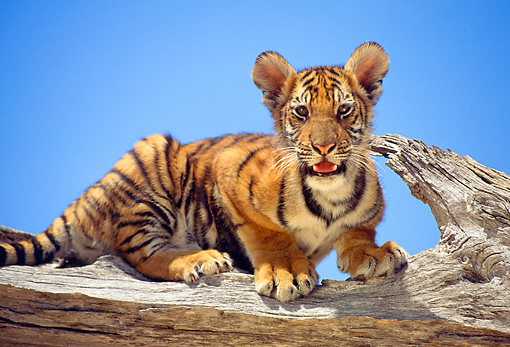 TGR 10 RK0105 14 © Kimball Stock Bengal Tiger Cub Sitting On End Of Broken Tree Branch Blue Sky
