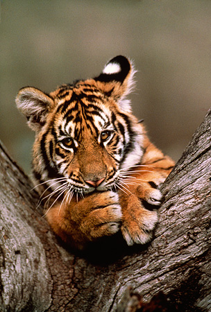 TGR 10 RK0172 03 © Kimball Stock Head Shot Of Bengal Tiger Cub In Fork Of Tree