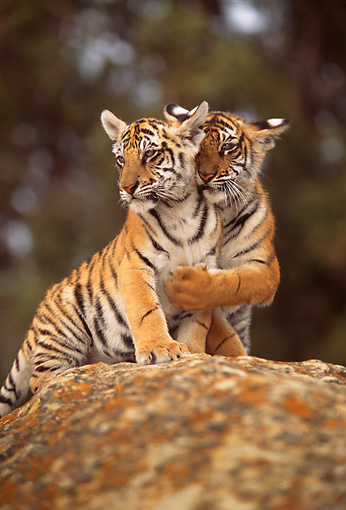 TGR 10 RW0003 01 © Kimball Stock Two Bengal Tiger Cubs On Rock