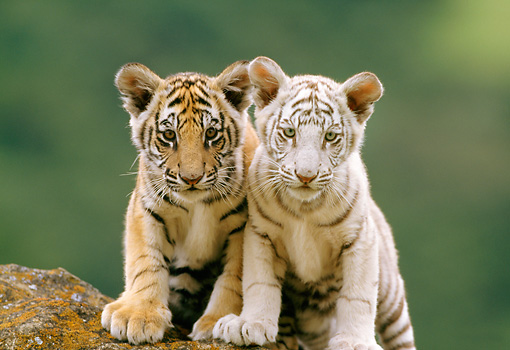 TGR 10 RW0005 01 © Kimball Stock Two Bengal Tiger Cubs Standing On Rock