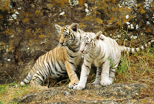 TGR 10 RW0006 01 © Kimball Stock Two Bengal Tiger Cubs Standing On Hill By Trees