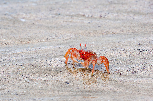 UWC 01 AC0001 01 © Kimball Stock Painted Ghost Crab (Or Cart Driver Crab) Walking On Wet Sand, Galapagos Islands, Ecuador