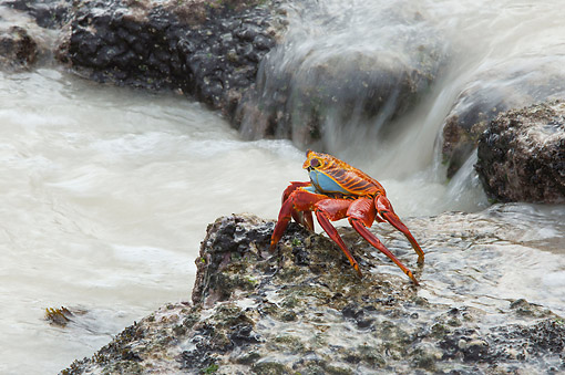 UWC 01 AC0002 01 © Kimball Stock Sally Lightfoot Crab Crawling Over Rock, Galapagos Islands, Ecuador