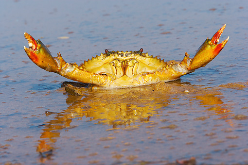 UWC 01 HP0001 01 © Kimball Stock Scylla Crab In Water Zululand, South Africa