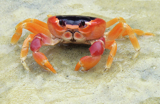 UWC 01 JE0001 01 © Kimball Stock Crab Sitting On Wet Sand Venezuela