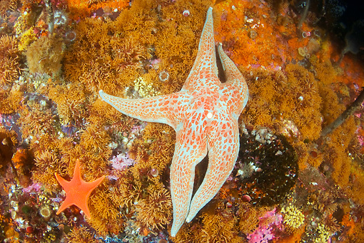 UWC 01 JM0030 01 © Kimball Stock Leather Sea Star On Rocks Alaska