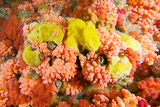 UWC 01 JM0036 01 © Kimball Stock Sea Strawberry Soft Coral Alaska
