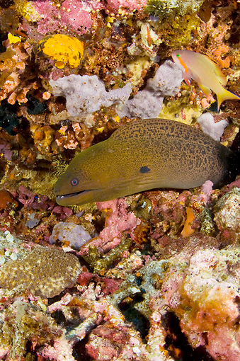 UWC 01 JM0040 01 © Kimball Stock Giant Moray Eel In Tropical Coral Reef Indonesia