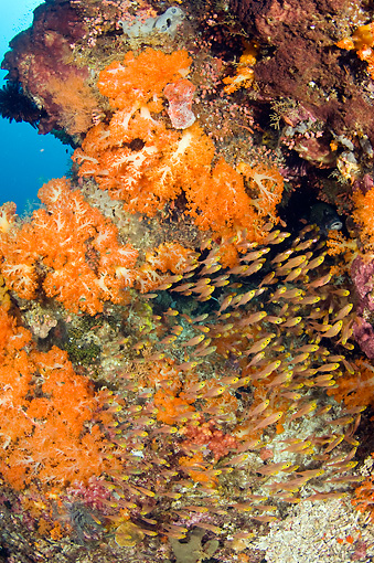 UWC 01 JM0043 01 © Kimball Stock Golden Sweepers In Tropical Coral Reef Indonesia