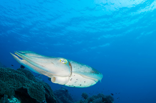 UWC 01 JM0048 01 © Kimball Stock Broadclub Cuttlefish In Coral Reef Indonesia