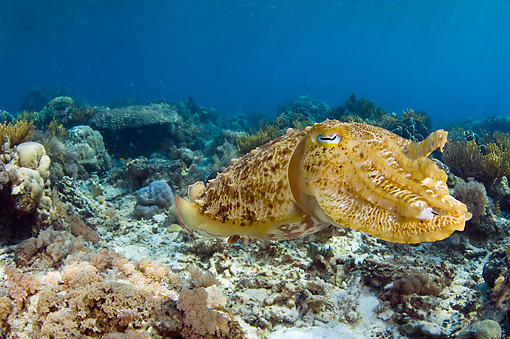 UWC 01 JM0049 01 © Kimball Stock Broadclub Cuttlefish In Coral Reef Indonesia