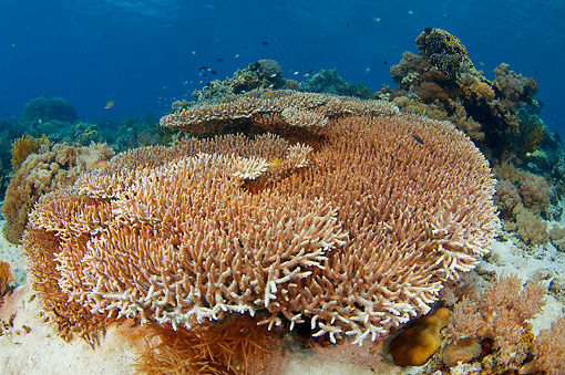 UWC 01 JM0054 01 © Kimball Stock Staghorn Coral In Tropical Coral Reef Indonesia