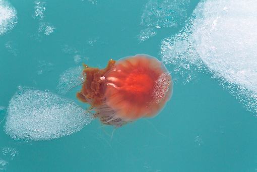 UWC 01 KH0008 01 © Kimball Stock Jellyfish In Water And Ice Svalbard