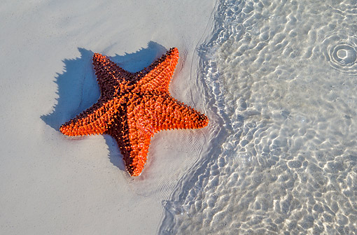 UWC 01 KH0009 01 © Kimball Stock Red Cushion Sea Star Laying On Beach In The Carribean
