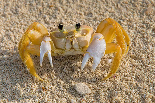 UWC 01 KH0010 01 © Kimball Stock Atlantic Ghost Crab Walking On Beach In Bahamas