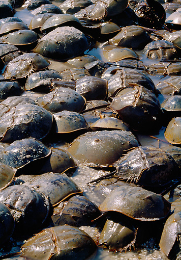 UWC 01 MC0002 01 © Kimball Stock Group Of Horseshoe Crab In Shallow Water