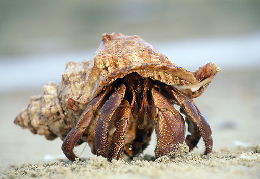 UWC 01 MH0002 01 © Kimball Stock Hermit Crab Sitting In Sand In Africa