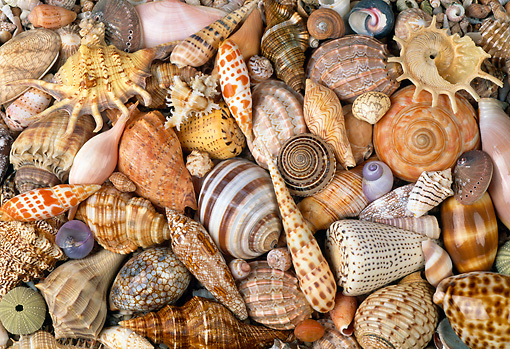 UWC 01 MH0003 01 © Kimball Stock Seashells From Marine Snails African Coast