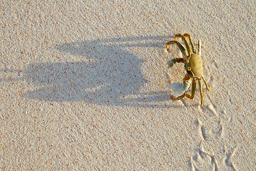 UWC 01 MH0004 01 © Kimball Stock Horned Ghost Crab Crawling Down Beach On Cousine Island, Seychelles