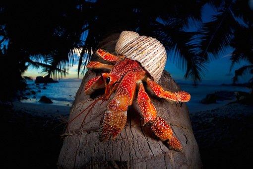 UWC 01 MH0010 01 © Kimball Stock Hermit Crab On Coconut Palm Tree By Ocean At Night In Seychelles