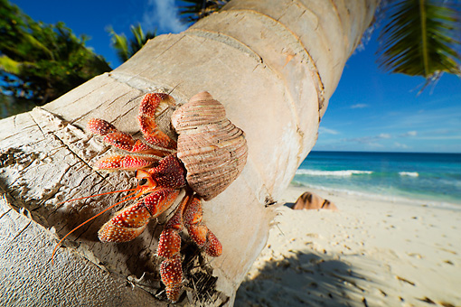 UWC 01 MH0011 01 © Kimball Stock Hermit Crab On Coconut Palm Tree By Ocean In Seychelles