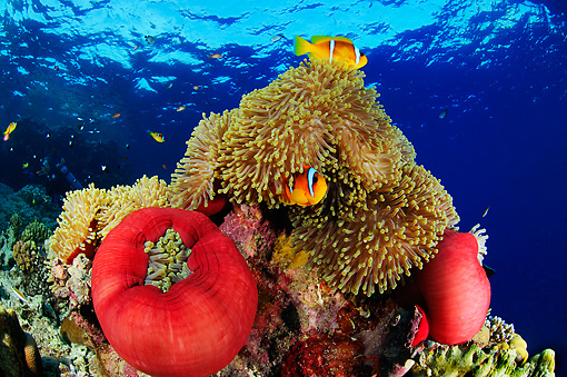 UWC 01 WF0002 01 © Kimball Stock Red Sea Anemonefish (Clown Fish) Swimming Around Magnificent Sea Anemone