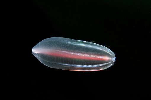 UWC 01 WF0004 01 © Kimball Stock Comb Jelly In White Sea Russia