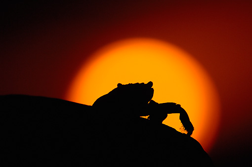 UWC 01 WF0011 01 © Kimball Stock Silhouette Of Sally Lightfoot Crab Against Setting Sun
