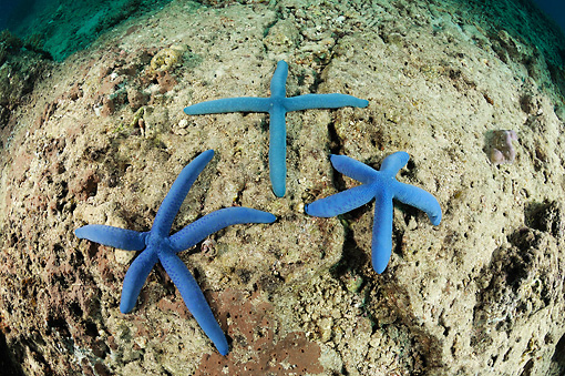 UWC 01 WF0017 01 © Kimball Stock Blue Sea Star In Shape Of Cross With Two Normal Five-Armed Sea Stars On Sea Floor
