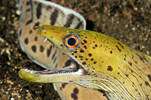 UWC 01 WF0023 01 © Kimball Stock Head Shot Of Giant Moray Eel Underwater