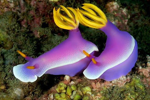 UWC 01 WF0024 01 © Kimball Stock Purple Nudibranches Swimming In Coral Reef
