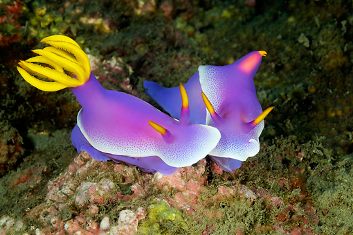 UWC 01 WF0026 01 © Kimball Stock Purple Nudibranches Swimming In Coral Reef