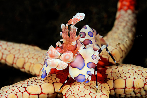 UWC 01 WF0033 01 © Kimball Stock Harlequin Shrimp Feeding On Necklace Sea Star Underwater