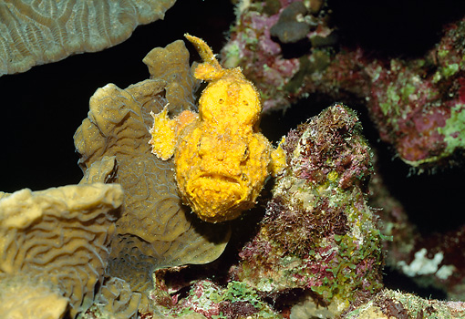 UWC 01 HB0009 01 © Kimball Stock Head On Shot Of Longlure Frogfish Bonaire Netherlands Antilles