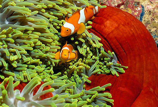 UWC 01 HB0011 01 © Kimball Stock Clown Anemonefish Solomon Islands