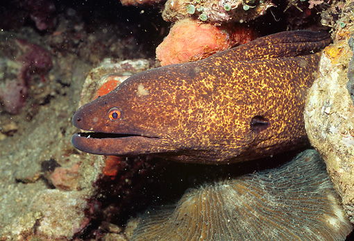UWC 01 HB0015 01 © Kimball Stock Yellow-Edged Moray Eel Lembeh Straits Indonesia