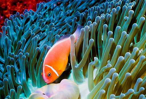 UWC 01 HB0021 01 © Kimball Stock False Skunk-Striped Anemonefish On Sea Anemone Fiji