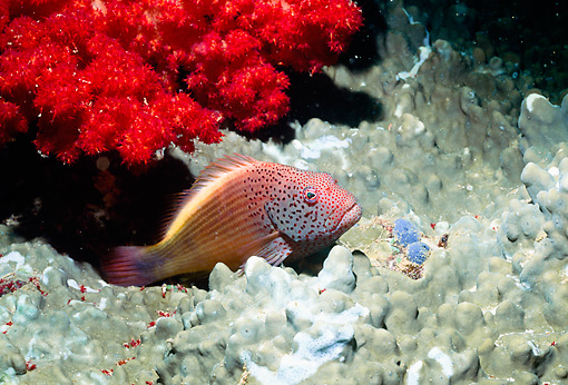 UWC 01 HB0023 01 © Kimball Stock Blacksided Hawkfish Fiji