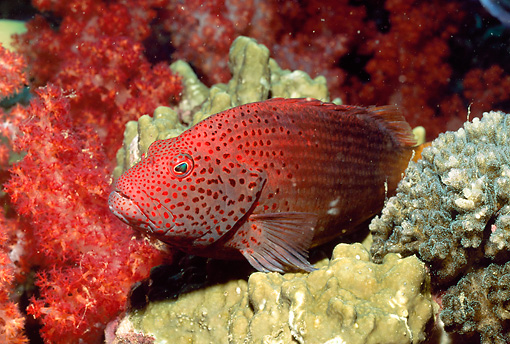 UWC 01 HB0028 01 © Kimball Stock Orange-Red Pygmy Grouper Fiji