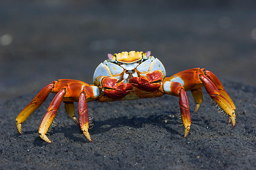 UWC 01 NE0002 01 © Kimball Stock Sally Lightfoot Crab Walking On Black Rock Galapagos Islands