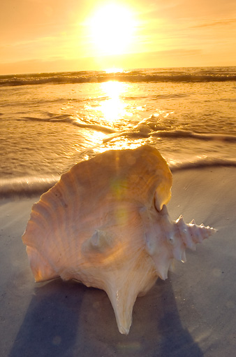 UWC 01 NE0004 01 © Kimball Stock Conch Seashell On Florida Beach At Sunset