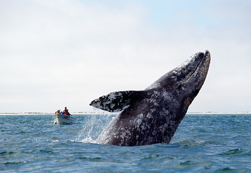 WHA 01 MC0001 01 © Kimball Stock Gray Whale Leaping Out Of Sea By Boat Mexico
