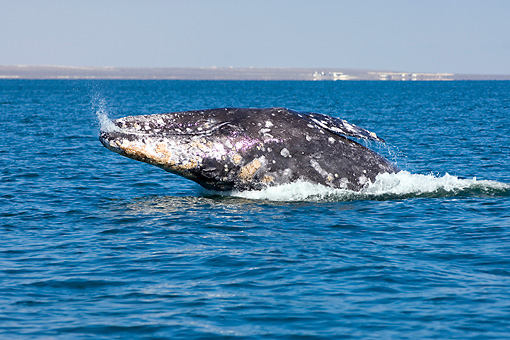 WHA 01 SK0001 01 © Kimball Stock Gray Whale Breaching Mexico