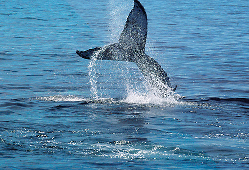 WHA 02 BA0001 01 © Kimball Stock Humpback Whale Tail Sticking Out Of Water