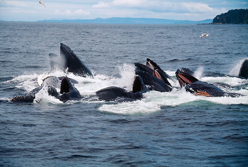 WHA 02 BA0002 01 © Kimball Stock Group Of Humpback Whales Making Bubble Net