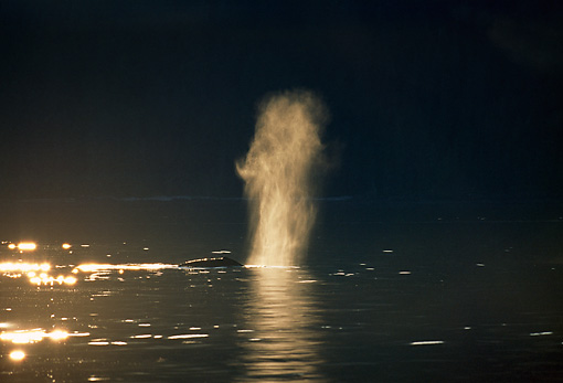 WHA 02 GL0001 01 © Kimball Stock Humpback Whale Spouting Through Blowhole At Dusk
