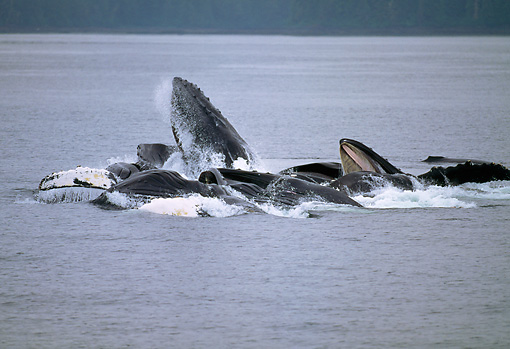 WHA 02 GL0002 01 © Kimball Stock Group Of Humpback Whales Bubble Net Feeding At Surface Of Sea