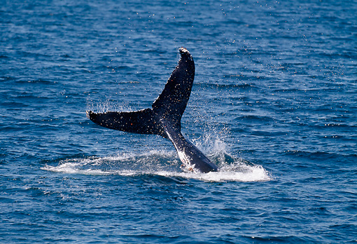 WHA 02 GL0003 01 © Kimball Stock Tail Of Humpback Whale At Surface Of Sea