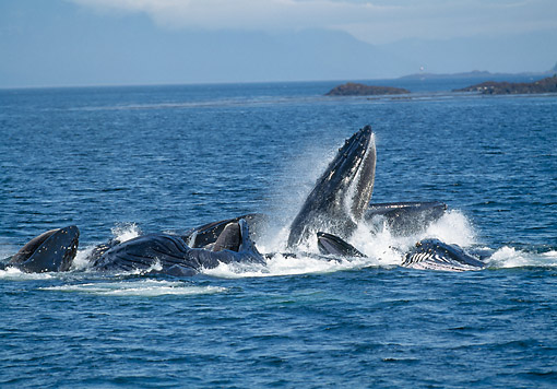 WHA 02 GL0006 01 © Kimball Stock Humpback Whales Bubble Net Feeding